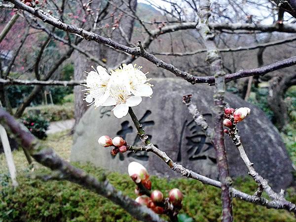 梅園の梅が咲き始めました