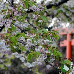 伊豆山神社境内の1本桜