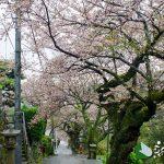 伊豆山神社参道 桜並木