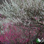 熱海梅園 梅まつり