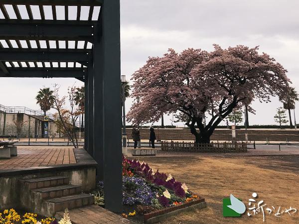 熱海温泉 桜