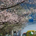 熱海 桜開花