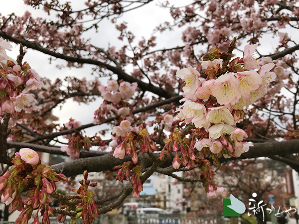 あたみ桜 糸川桜まつり