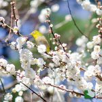 熱海梅園 梅開花