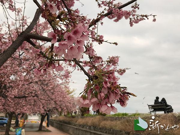 熱海親水公園桜