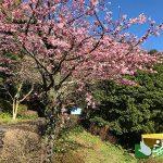 熱海姫の沢公園 ヒメノサワザクラ